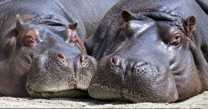 Quiero un hipopótamo para Navidad